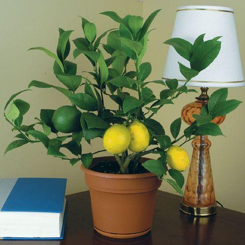 плодовое деревце лимон в квартире