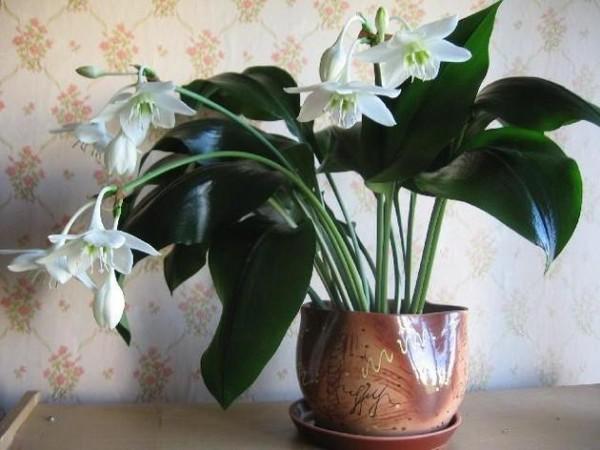 комнатное растение с необычным цветением